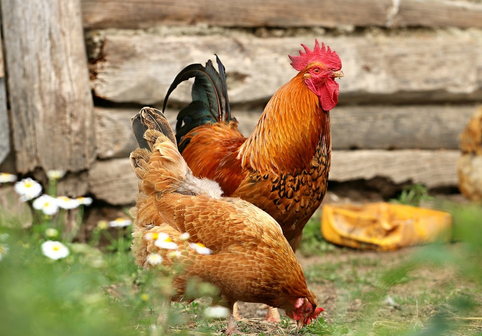 two chickens, flowers, grass, feeder, log fence